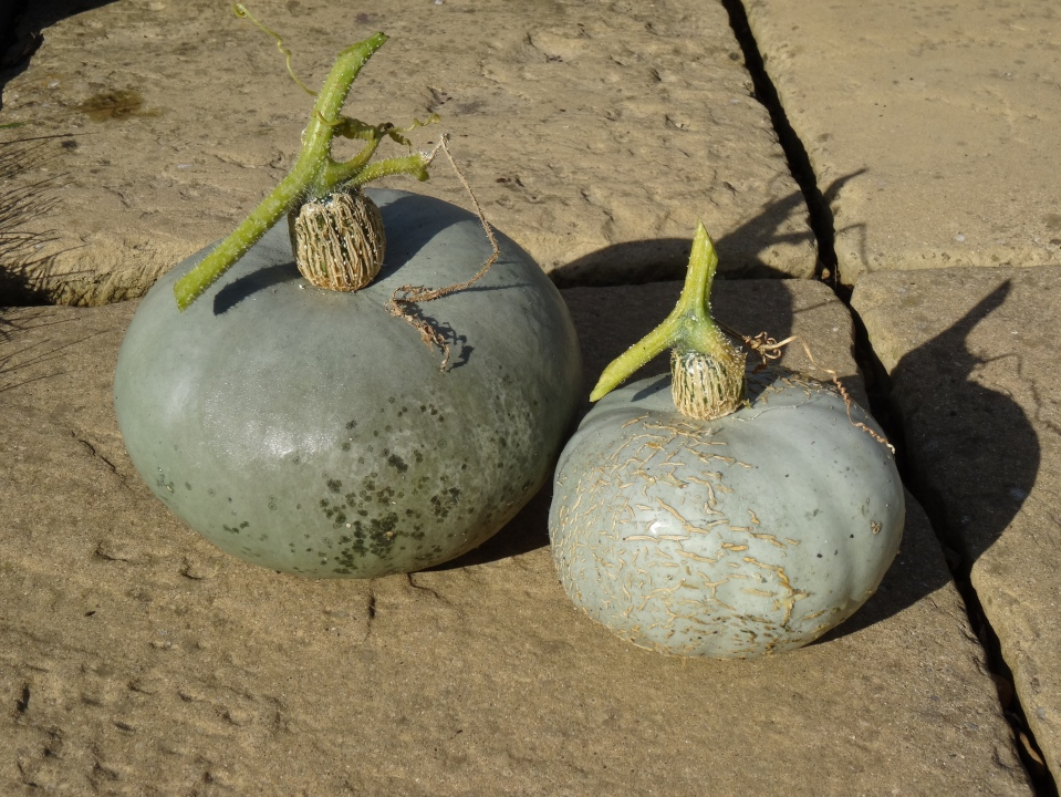 Pumpkins - just harvested ahead of this week's (forecast) rain, and somehow looking rather sinister...