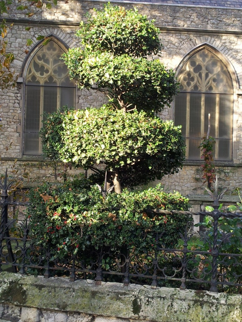One of the topiary hollies outside the Garden Museum in Lambeth looks suitably festive in some late autumn sunlight.